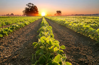 Bean field with a sunset